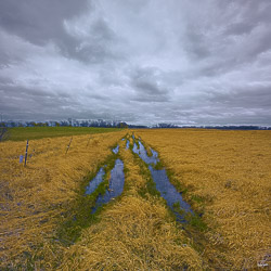 rain filled tractor tracks in a golden field