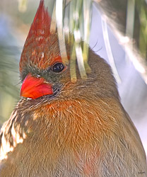 Close up portrait of a female cardinal in warm light. The 20x 30 inch print on canvas is sold out. Other sizes are available.