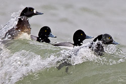 Greater scaups riding the waves in frigid winter water of Lake Michigan