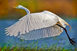 Great egret fills the frame of my camera as he takes off for flight