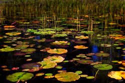Lily Pads in the Boundary Waters Wilderness Area from a Canoe Trip.