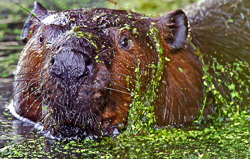 A very large beaver covered with duck weed in a swampy wetland area.